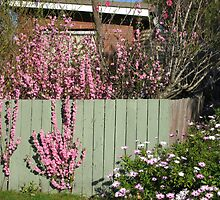 Pink flowering peach growing through the fence. by Marilyn Baldey