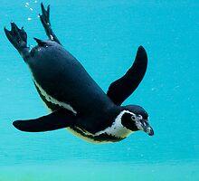 Magellanic Penguin (Spheniscus magellanicus) by Mariann Rea