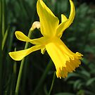 "Daffodil (Narcissus ""Charity May"") in mid-March by Philip Mitchell"