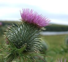 Scottish Thistle by Sandra Mangnall