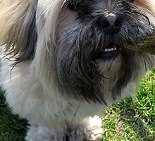 Lhasa Apso  No.4 by lovebitten