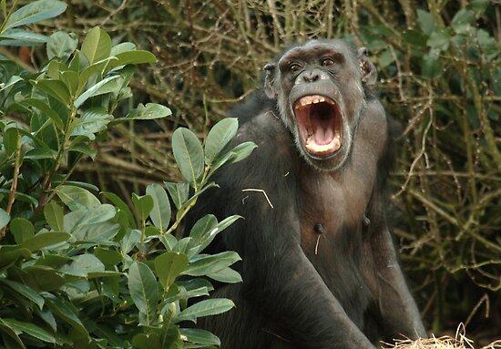 Chimpanzee by Franco De Luca Calce