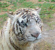 White Bengal Tiger - Kahn by Ginny York