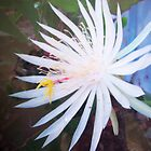 Night blooming Cereus Cactus Flower by seemyshots