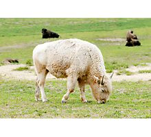 White Buffalo Photographic Print