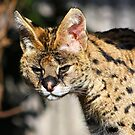 The serval by jdmphotography