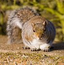 Grey Squirrel by Nigel Bangert