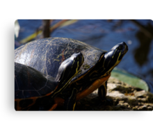 A Pair of Turtles Canvas Print
