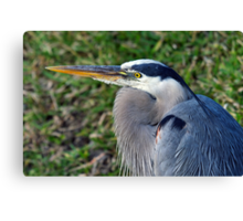Great Blue Heron - Resting Canvas Print