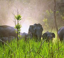 Wild elephant herd, Manas National Park, Assam, India by John Mitchell