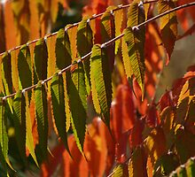 Close-up Sumac, Back-lit in Autumn by Anna Lisa Yoder