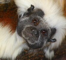 Cottontop Tamarin (critically endangered) by jdmphotography