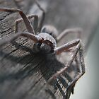 Huntsman Spider by Julie Sherlock