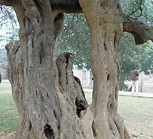 The twisted, gnarled stump and stem of a large tree inside the Qutub Minar Compound by ashishagarwal74