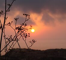 Sunset behind the fennel plant by Elvio Spiteri