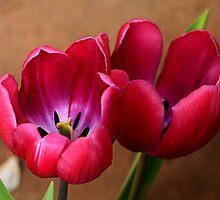 Pink Tulip Pair by Deborah  Benoit