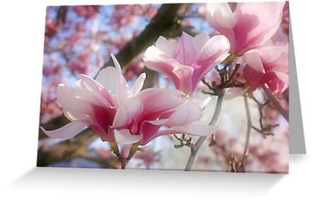 Magnolia Blossoms by Sandy Keeton