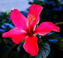 Hibiscus by Fred  Smith