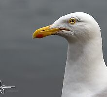 Sea gull by Andreas Stridsberg