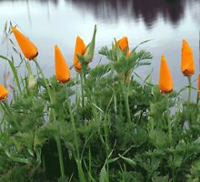 California Orange Poppy Patch ~ Maria Pasiuk by Myillusions