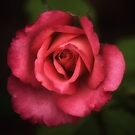 Morning Rose by caroleann1947