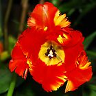 Worcester, Massachusetts Parrot Tulip by Mitchell Grosky