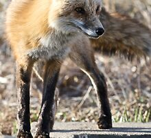 What a sporty little vixen by Jonathan Bartlett