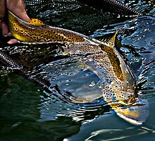 Brown Trout by Douglas Barnes