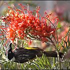 New Holland Honey eater feeding on a grevillea flower by Dennis Wetherley