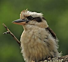 Kookaburra IV by Tom Newman