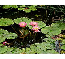 Pink water lillies and leaves over dark water. Photographic Print