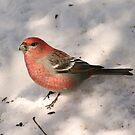 Pine Grosbeak by Sean McConnery