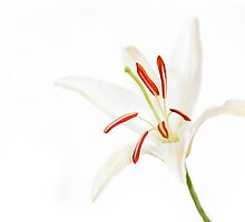 Lily white by micklyn