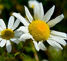 Scentless Mayweed by Keith Dunning