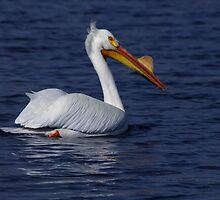 American White Pelican 1 by John Absher