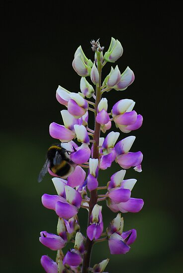 Bumblebee on a lupine flower at Port Arthur, Tasmania, Australia. by Catherine Sherman