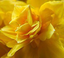 Flamenco Daffodils by kajo