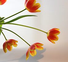 Tulips by marlise