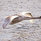 Cygnet in Flight by Nigel Bangert
