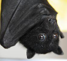 Australian Infant Black Fruit Bat by ivanwillsau