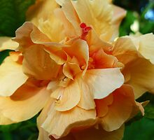 Double Peachy Hibiscus by Linda Bianic