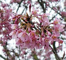 Cherry Blossom in the Spring by AnnDixon