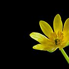 Buttercup ( Celandine ) by Jeremy Owen