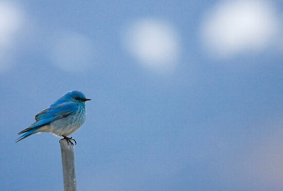 Bluebirds Return to Jackson Hole by A.M. Ruttle