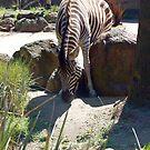Zebra Stuck by Equinox