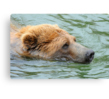 Grizzly Glare Canvas Print