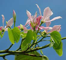 Pink Orchid Tree by Rainy