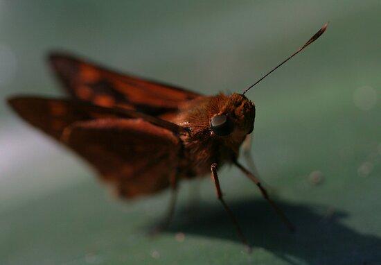 Orange Palm Dart butterfly by Rick Fin
