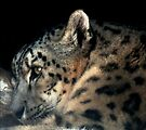 Leopard at Rest by RC deWinter