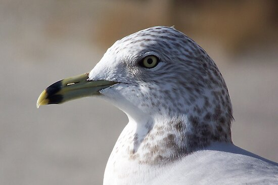 Ring-Billed Seagull. by William Brennan